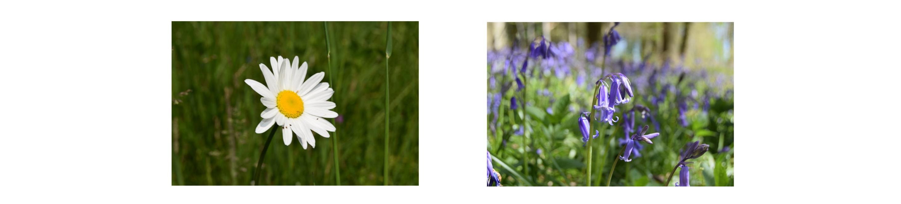 daisy bluebell banner