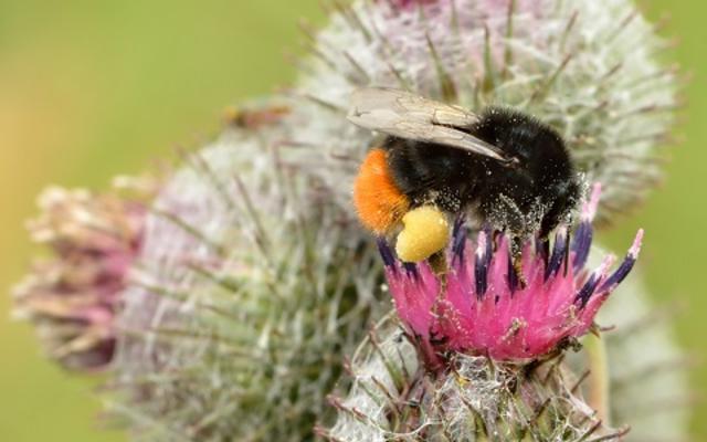 bombus lapidarius  arctium tomentosum small