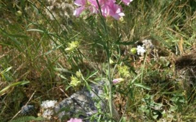 malva moschata small